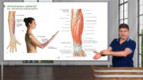 Obere Extremität – Unterarmmuskeln