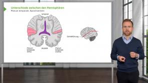 Zentralnervensystem: Sprache, kortikale Asymmetrie und Händigkeit