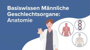 Basiswissen Männliche Geschlechtsorgane: Anatomie