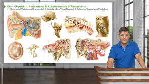 Ohr (Makroskopie, Histologie, Embryologie)