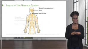 Nervous System – Physiology (Nursing)