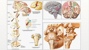 Anatomie-Repetitorium: Zentrales Nervensystem