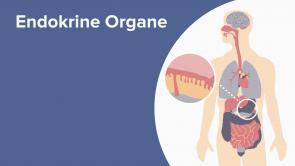 Endokrine Organe