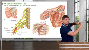 Obere Extremität - Schultern und Oberarm - Muskeln