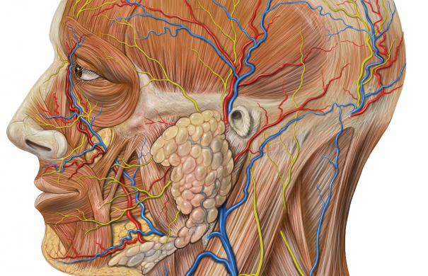 Kopf_Anatomie_Lateral_head_anatomy_detail.jpg