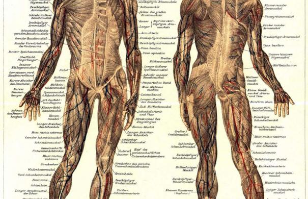 Muskel | Medizin-Lexikon | Online Lernen mit Lecturio