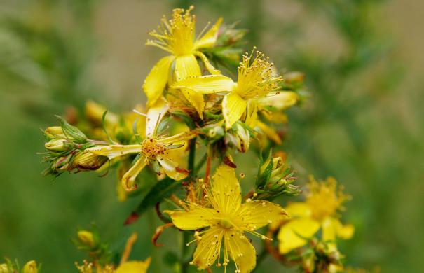 Heilpflanzen-Johanniskraut-Saint_johns_wart_flowers