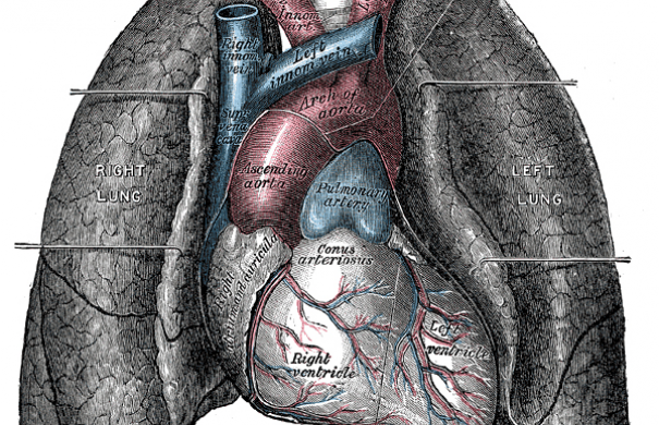 Herzschwäche-Anatomie des Herzens-Heart-and-lungs.jpg