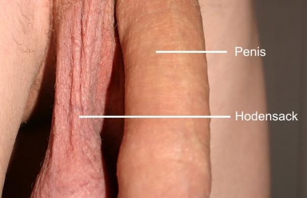 männliche-geschlechtsorgane_Penis_unbeschnitten.jpg