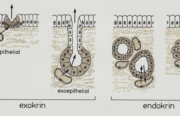 Drüsen_Arten_Histologie_(3).jpg