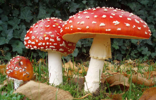 Vergiftung_Pilz_2006-10-25_Amanita_muscaria_crop.jpg