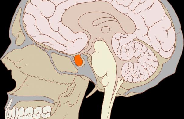 Hypophyse.png