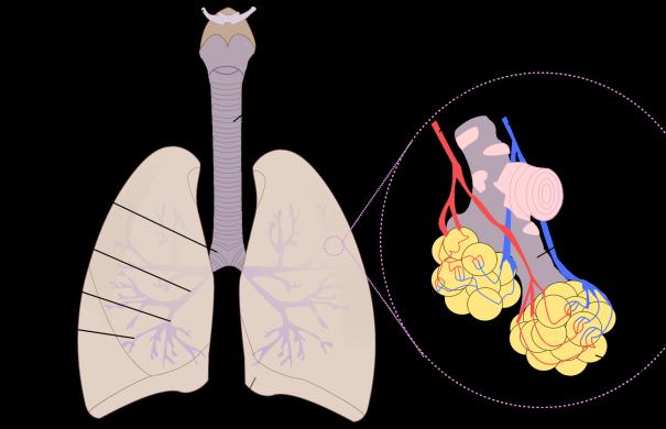 Lunge_2000px-Diagrama_de_los_pulmones.svg