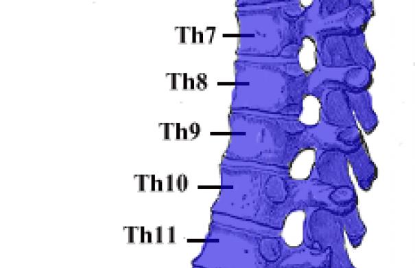 Wirbelsäule_Aufbau_Gray_111_-_Vertebral_column-coloured.png