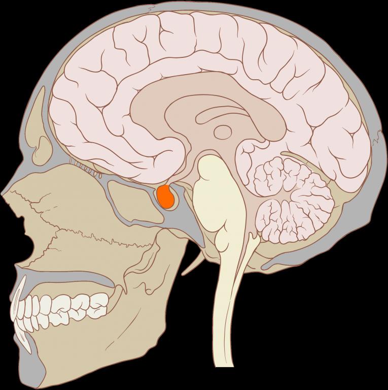 Gehirn_Aufbau_Hypophyse.png
