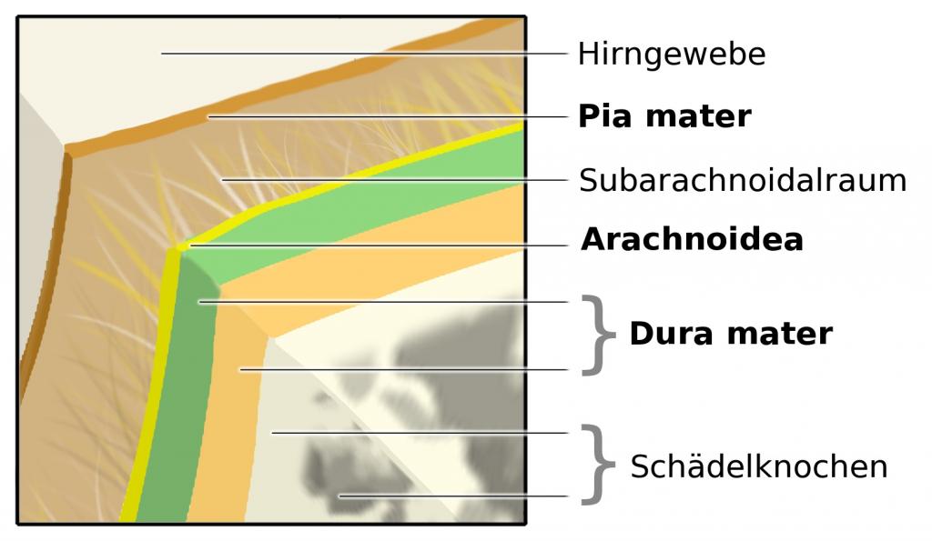 Hirnhautentzündung_Hirnhäute-Schema_Meningen.jpg