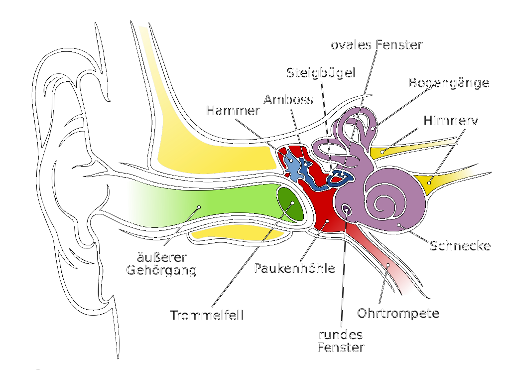 Anatomy_of_the_Human_Ear_de.svg.png