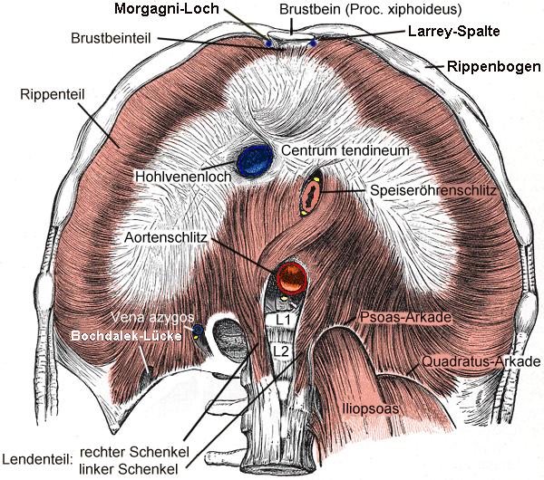Diaphragma.png