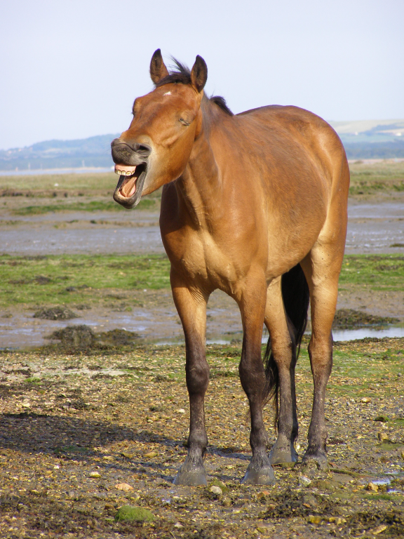 Old_pony_by_the_solent.jpg