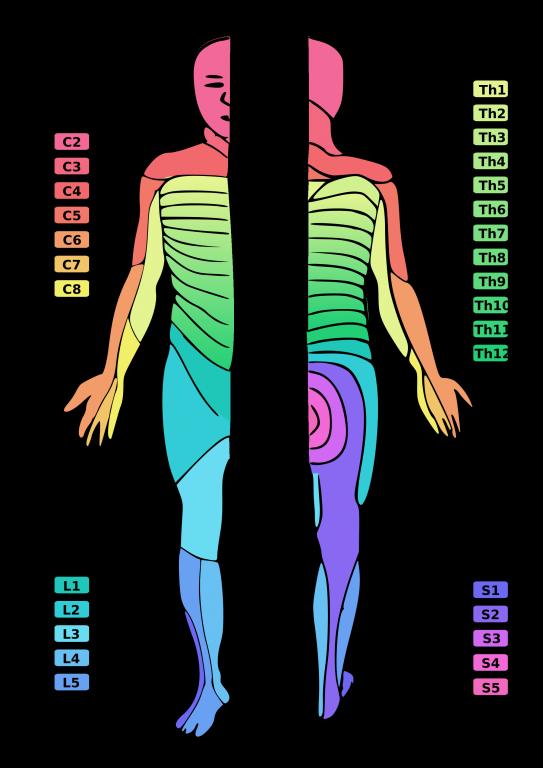 Querschnittslähmung_Dermatome_2000px-Dermatoms.png