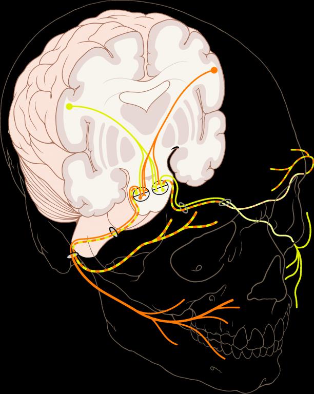 Tetanie_chvostek-zeichen_816px-Cranial_nerve_VII.png