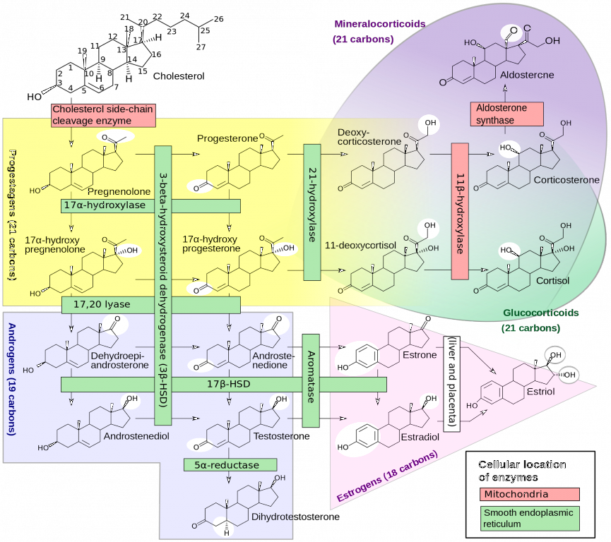 Östrogene_Sexualhormone_2000px-Steroidogenesis.svg2000px-Steroidogenesis.png