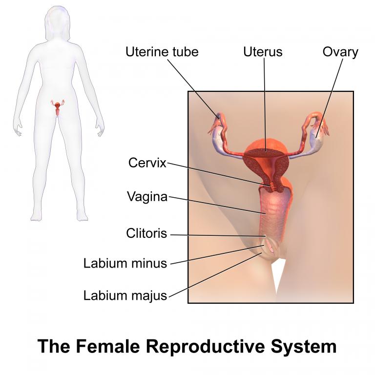 Wunderbar Weiblich äußeren Genitalien Anatomie Bilder - Menschliche ...
