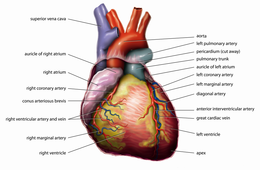 Herz1_Anatomy_Heart_English_Tiesworks.jpg