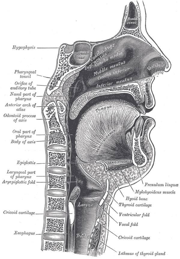 Anatomie des Halses: das sollten Sie wissen