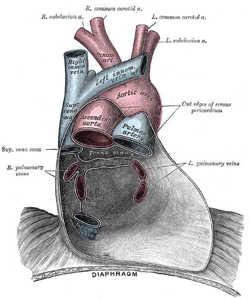 Alles Wissenswerte über die Anatomie des Herzens