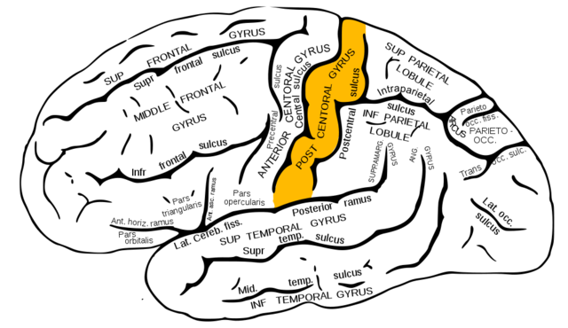 Gyrus postcentralis