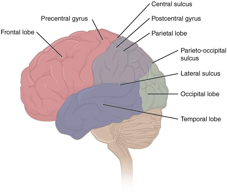 Lappen des cerebralen Cortex