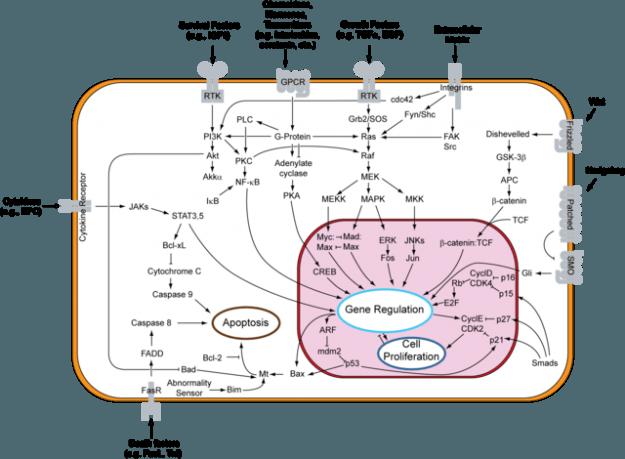 Signaltransduktionswege