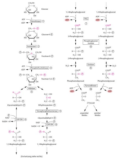 Ablauf der Glycolyse. Aus: Boeck, Gisela et al. Prüfungswissen Physikum. Thieme, 2009. S. 485