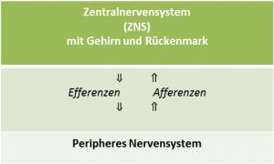 Systematik/Gliederung des Nervensystems: ZNS, Efferenzen, Afferenzen und PNS