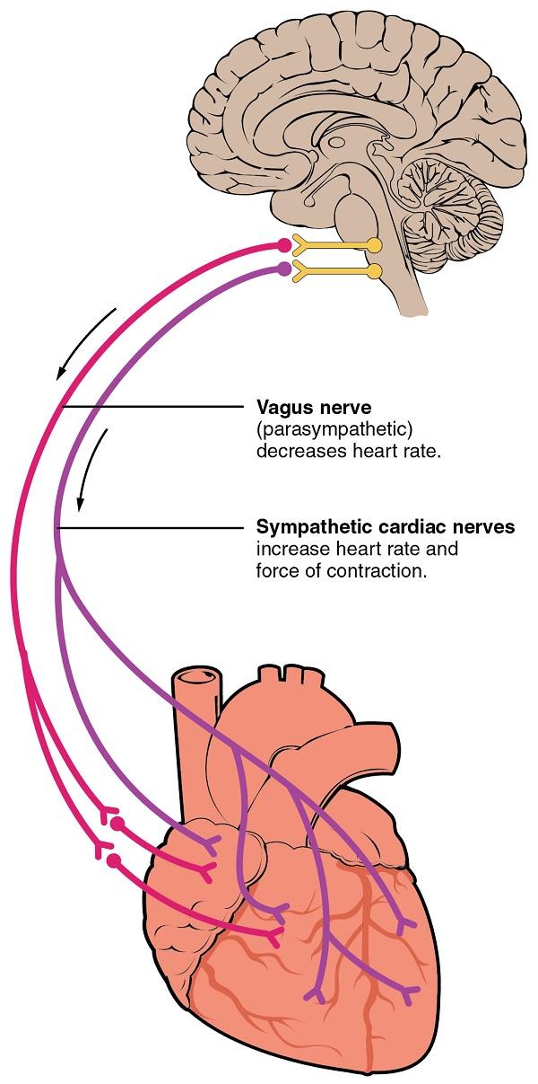 Vegetatives nervensystem innerviert das Herz