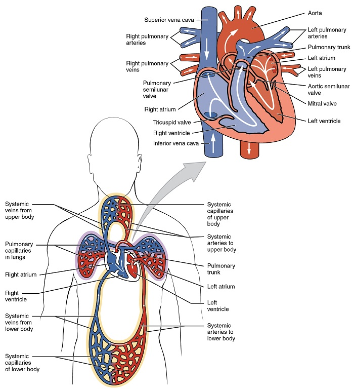 Berühmt Anatomie Und Funktion Des Herzens Galerie - Anatomie Ideen ...