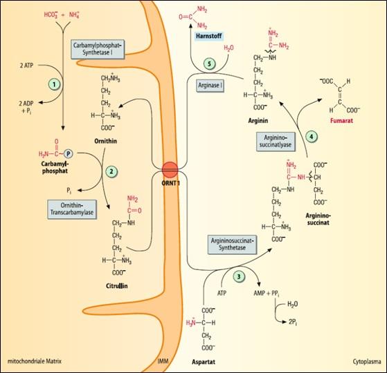 Abbildung 1: Der Harnstoffzyklus, Quelle: Georg Löffler, Petro E. Petrides, Peter C. Heinrich Biochemie und Pathobiochemie 8., völlig neu bearbeitete Auflage, Springer 2007, S. 446