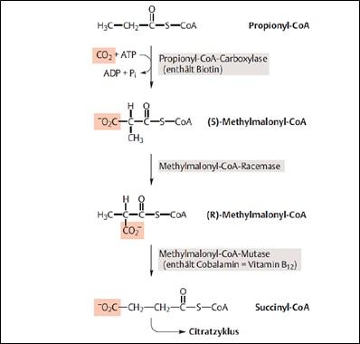 abbildung 2 Reaktionsschritte zum Abbau ungeradzahliger Fettsäuren