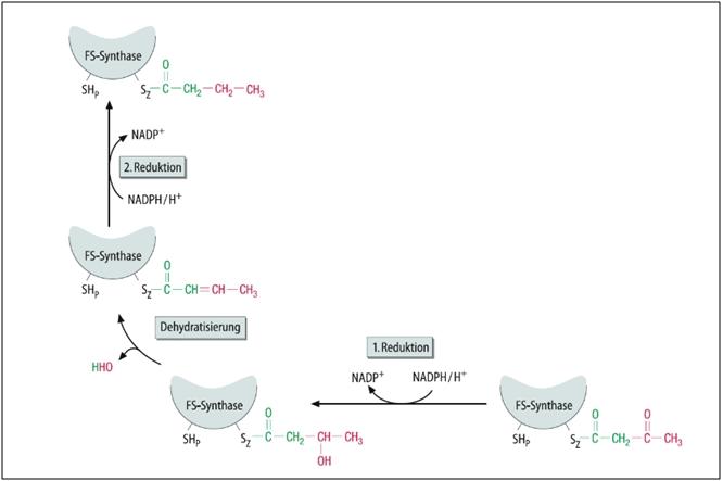 das-ist-eine-abbildung-zur-fettsaeuresynthese