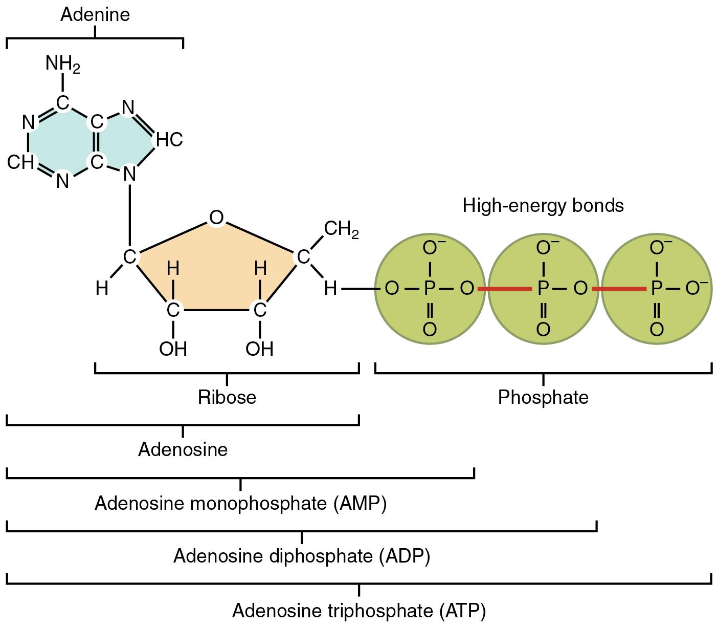 Adenosintriphosphat (ATP) – Energieeinheit des Lebens | Lecturio