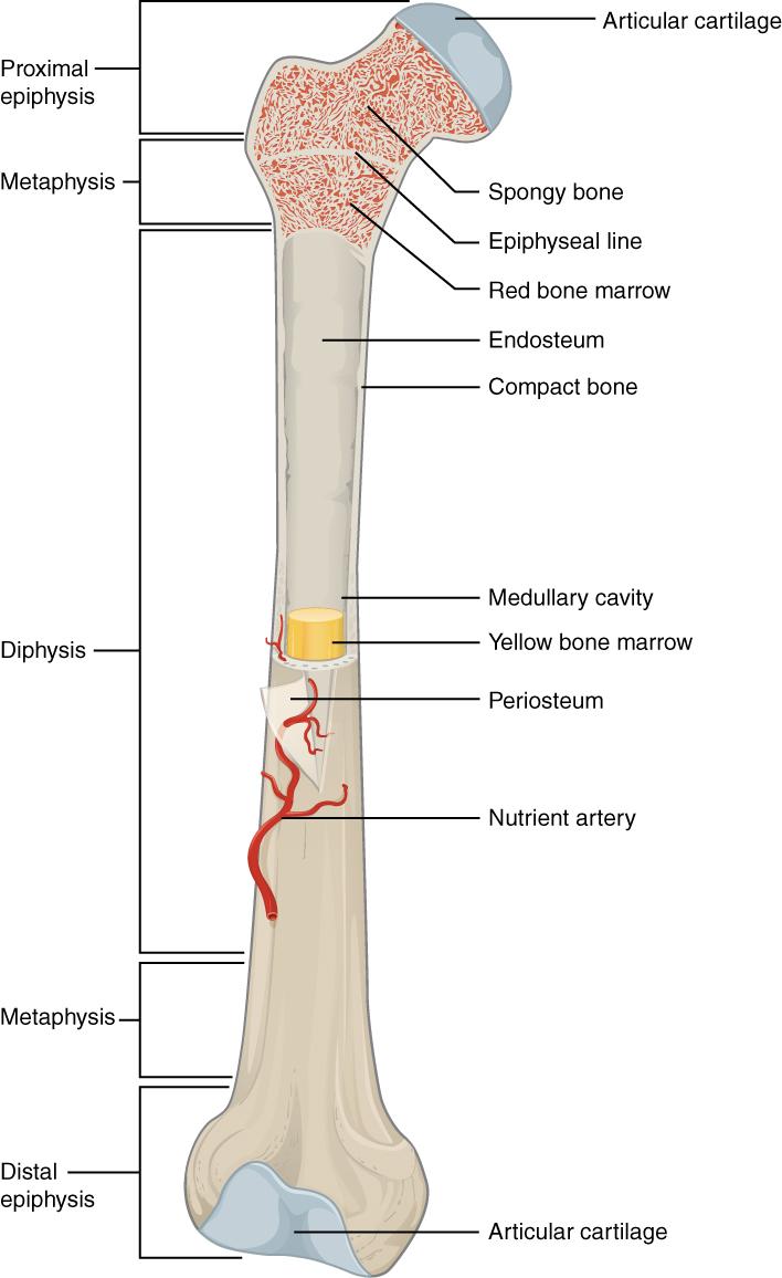 Knochen – Anatomie, Histologie und Erkrankungen