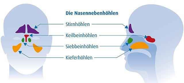 Nasennebenhöhlen: Schematische anatomische Darstellung (Frontalansicht und Längsschnitt)