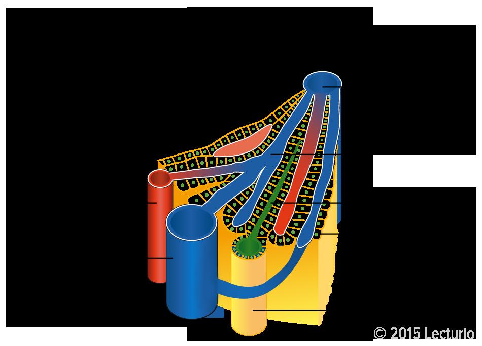 Leber – Zentralorgan des Stoffwechsels | Medizin-Wissen