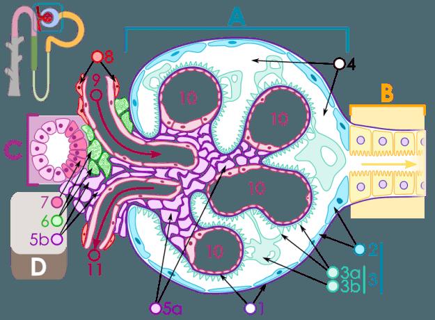 Nierenkörperchen