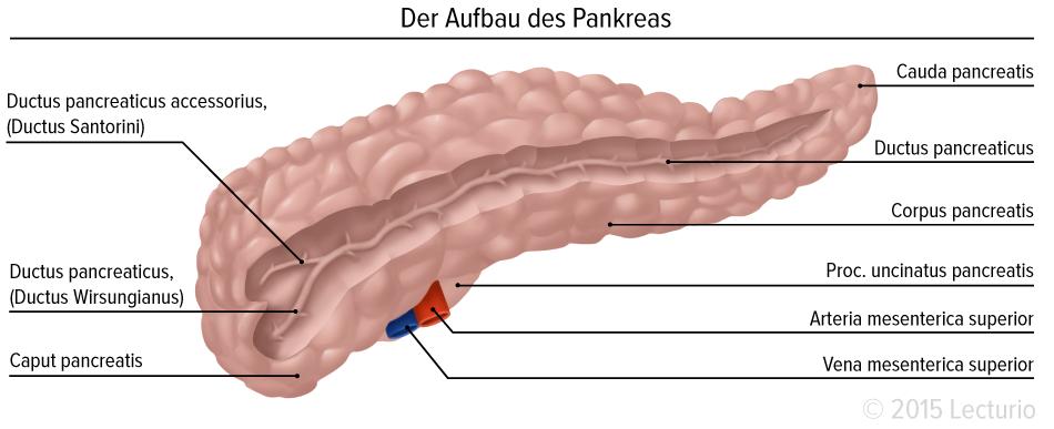 Bauchspeicheldrüse: Das Pankreas umfassend erklärt