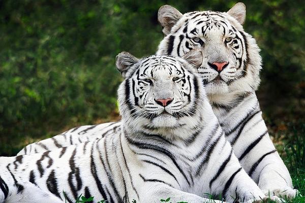 das sind zwei weiße tiger