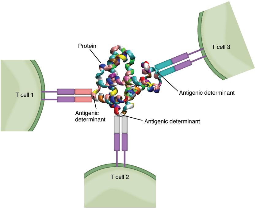 Schematische Darstellung der Antigen-Bestimmung