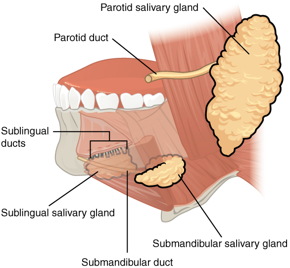 Mundhöhle (Cacum oris) – Der Anfang des Verdauungstrakts