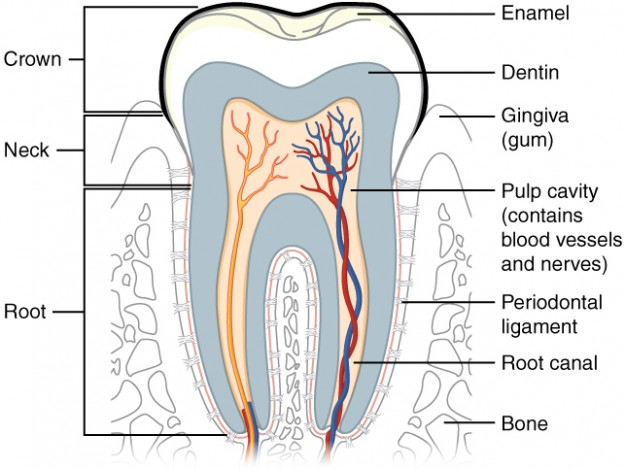 Zahn: Anatomische Darstellung Längsschnitt